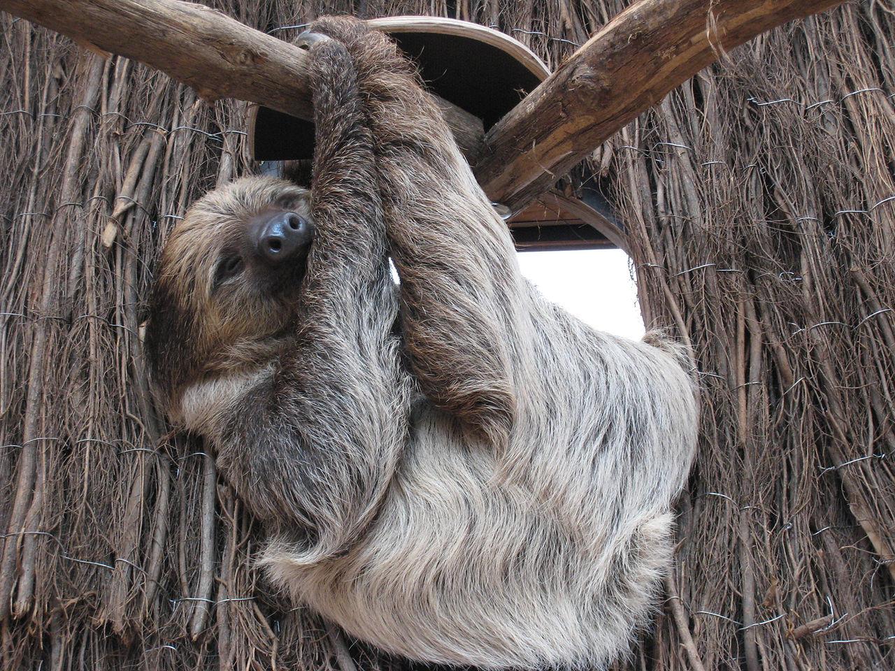 File:Zoo Dortmund Faultier.jpg - Wikipedia