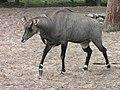 Zoo d'Arcachon - Antilope Nilgaut - 2014-07-19 - img 2459.jpg