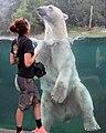 Zoo de Mulhouse Ours blanc Ursus maritimus 12072019 01 1612.jpg