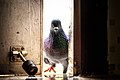 """""""May I come in?"""" said the little pigeon.jpg"""