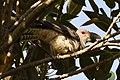 (1)Channel-billed cuckoo-3.jpg
