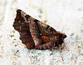(1917) Early Thorn (Selenia dentaria) (13564757383).jpg