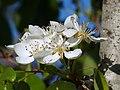(ALB) P. communis - flower-7.jpg