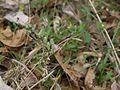 ¿ Rungia species ? (5597548443).jpg