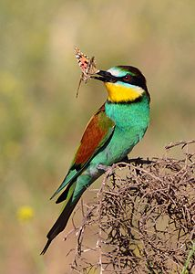 European bee-eater from Kurdistan