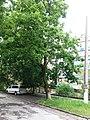 Айлант високий, м. Кам'янець-Подільський, вул. Л. Українки, 83.jpg