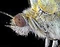 Бабочка капустница (Pieris brassicae).jpg