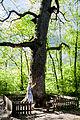 Віковий дуб «Бай-Бай» 02.jpg