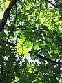 Гомель. Парк. Дуб красный. Фото 07.jpg