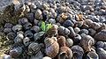 Груды пустых ракушек на берегу - panoramio.jpg