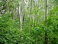 Дерева в заказнику Хорішки.jpg