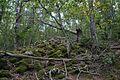 Лес на вершине горы Аю-Даг.jpg
