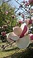 Магнолії рожеві.jpg