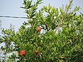 Плоды гранатов около ворот Судакской крепости. Судак. Крым. Август 2010 - panoramio.jpg