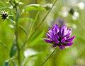 Псоралея смолистая (Смолистый клевер) - Bituminaria bituminosa - Arabian pea (Pitch trefoil) - Asphaltklee (28431286415).jpg
