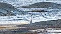 Серая цапля - Ardea cinerea - Grey heron - Сива чапла - Graureiher (37054058864).jpg