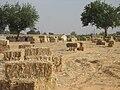 Убраное поле в Бенгашире.jpg
