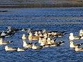 Чайки на Святошинському озері. IMG 5864.jpg