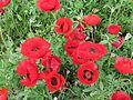 פרחי פרג בכפר נין 01.jpg