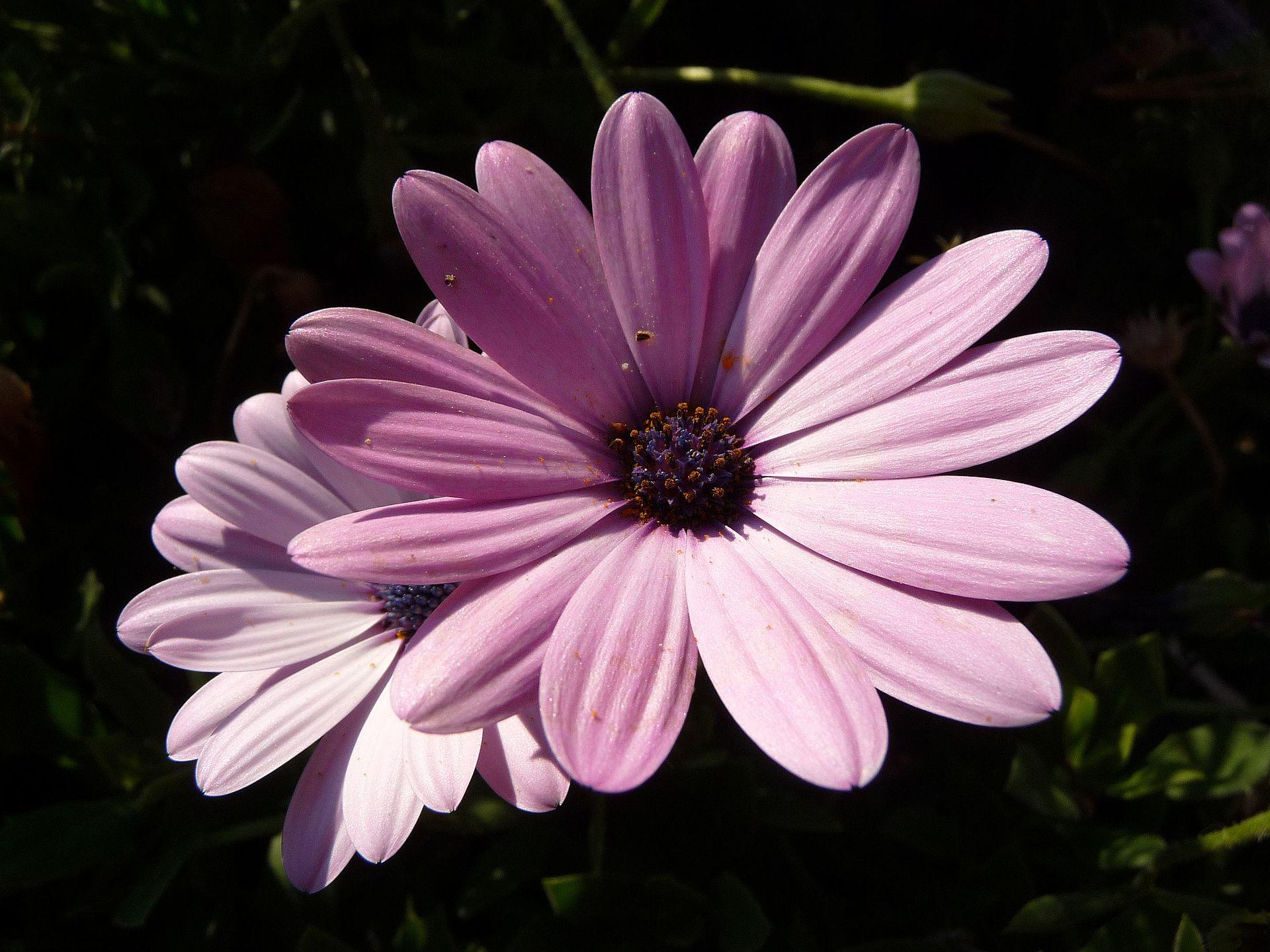 Magnoliophyta - Wikipèdia