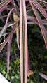 برگ و ساقه گیاه عنکبوتی 05-Chlorophytum comosum,.jpg
