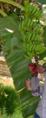 شجرة موز في الإسكندرية 3.PNG