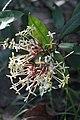 เข็มหลวง ( Ixora spextabilis Wall. ) RUBIACEAE (2).jpg