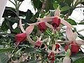 倒掛金鐘 Fuchsia Celia Smedley -英格蘭 Wisley Gardens, England- (9255178260).jpg