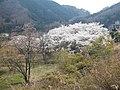 八千代湖岸の桜 - panoramio.jpg