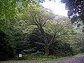 北郷レイクサイド公園のイロハモミジ - panoramio.jpg