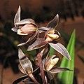 報歲富貴 Cymbidium sinense 'Wealth' -香港沙田國蘭展 Shatin Orchid Show, Hong Kong- (12220955245).jpg