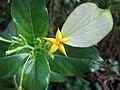 小玉葉金花 Mussaenda parviflora -台中植物園 Taichung Botanical Garden, Taiwan- (15506320667).jpg