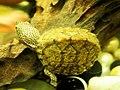 屋頂龜 Kinosternon carinatum - panoramio.jpg