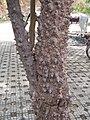 据说是攀枝花树 - panoramio.jpg