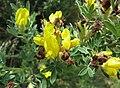 染料木屬 Genista monspessulana ? -維也納大學植物園 Vienna University Botanical Garden- (28428869923).jpg
