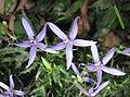 流星花 Laurentia axillaris -香港禮賓府 Hong Kong Government House- (9200932024).jpg