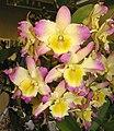秋石斛 Dendrobium phalaenopsis hybrid -香港沙田洋蘭展 Shatin Orchid Show, Hong Kong- (9252404635).jpg