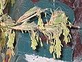 竹 Bambusa -揚州瘦西湖 Yangzhou, China- (9213322511).jpg