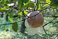 苹果园的苹果 - panoramio.jpg