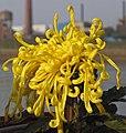 菊花-菩薩蠻 Chrysanthemum morifolium 'Bodhisattva Barbarian' -中山小欖菊花會 Xiaolan Chrysanthemum Show, China- (12065008904).jpg