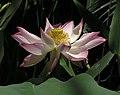 蓮花-聖地亞哥 Nelumbo nucifera -香港公園 Hong Kong Park- (12359940815).jpg
