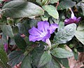 蘆莉草屬 Ruellia dipteracanthus -哥本哈根大學植物園 Copenhagen University Botanical Garden- (36871614772).jpg