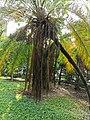 軟葉刺葵 Phoenix roebelenii 20201013101916 02.jpg