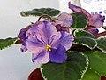 非洲紫羅蘭 Saintpaulia Circus Star -香港花展 Hong Kong Flower Show- (33003413923).jpg