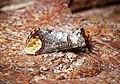 -1994- Buff-tip (Phalera bucephala) (42857429572).jpg