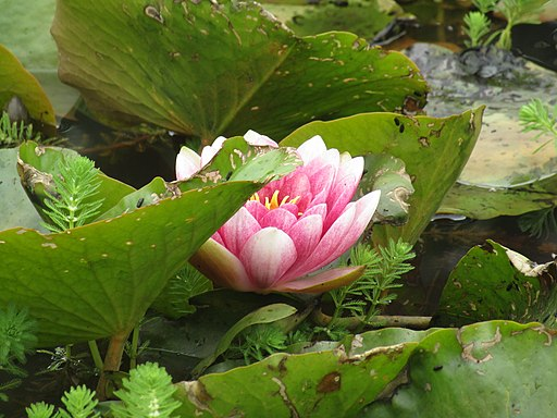 -2021-06-25 Waterlilys, Sutton, Norfolk (1)