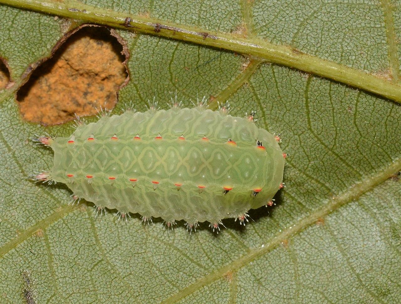 File:- 4679 – Natada nasoni – Nason's Slug Moth caterpillar (30872116748).jpg - Wikimedia Commons