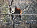 - ITALY - Lemure Vari rosso (Varecia rubra) - Parco Natura Viva - Verona2.JPG
