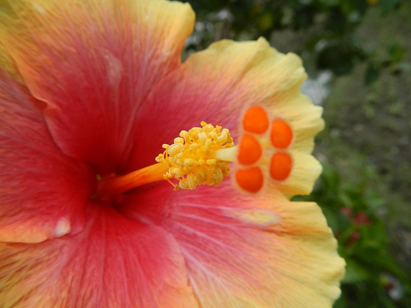File:03601jfHibiscus rosa sinensis Philippinesfvf 04.JPG