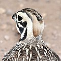 072 - MONTEZUMA QUAIL (8-22-2015) harshaw rd, santa cruz co, az -11 (20610565720).jpg